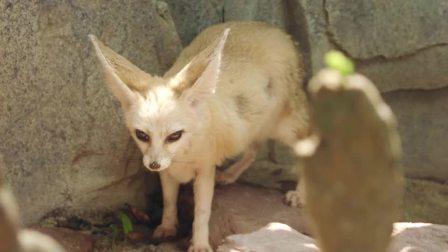 """狐狸被人类妖魔化,""""狡猾""""并非它的本性"""