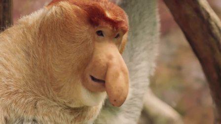 生活不能尽如人愿,人类需要正视大鼻猴