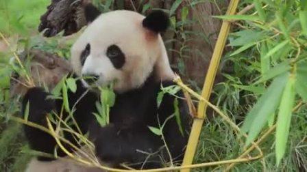 国宝大熊猫惹人爱,呆萌体态收割粉丝