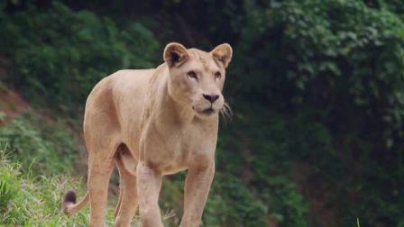 森林之王和睦同伴,狮子王也怕孤单