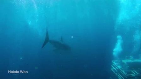 2020潮到出水新玩法!   林肯港船宿看大白鯊  360度水上水下全景視頻拍攝,含與澳大利亞海獅游泳。