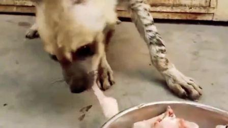 在非洲臭名昭著的鬣狗,吃骨头看着都害怕,也不知道这东西到底能不能饲养?
