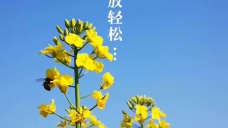 昭苏油菜花