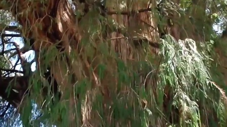 最粗的树,周长58米,以及长了2000多年