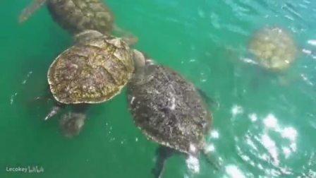 开曼群岛海龟农场