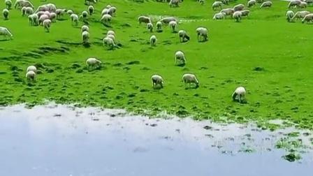 来草原放牧吧!没有生活压力,没有爱恨情仇,只关心羊还在不在。它吃草时 咱睡觉,美哉!