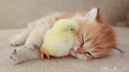 小猫咪和小鸡崽温馨画面!超可爱的两只小动物
