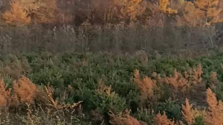 枫叶残蚀看松树