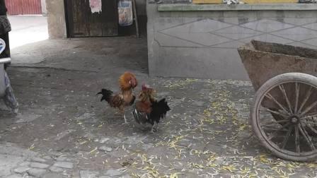 家里两只大公鸡