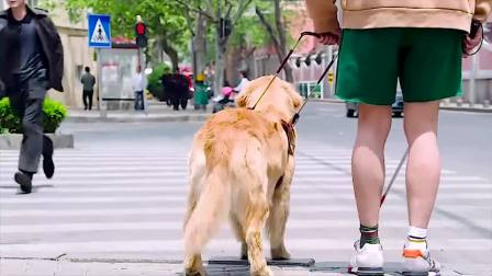 金毛为了主人,愿意成为他的导盲犬