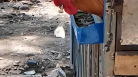 20200510 151053 (慢镜头拍摄)实拍鸡啄食