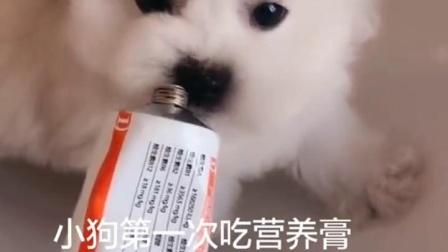 狗狗第一次吃营养膏吃哭了,太好吃了啊