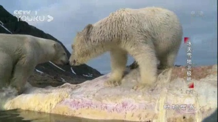 我在冰天雪地北极熊(二):北极熊幼崽如何在融化的浮冰上挣扎生存截了一段小视频