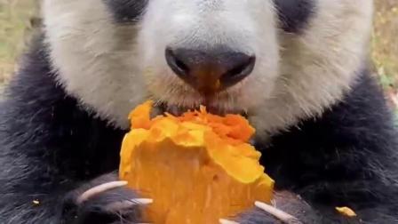 大熊猫爱上了南瓜