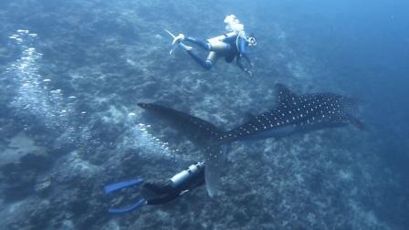 最大的鲨鱼这么温顺