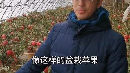苹果盆栽收益高,技术要求更高