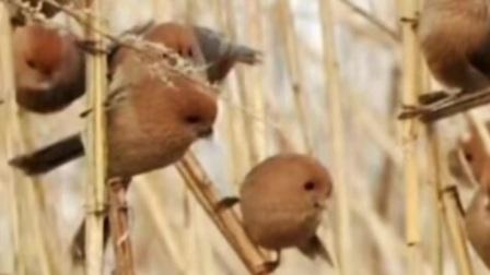小崔画眉鸟之转载快手黄豆鸟叫声