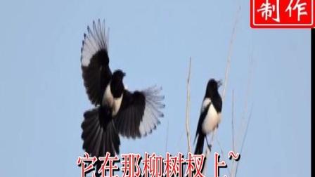 豫剧《花喜鹊》花喜鹊不住的吱吱喳喳树上叫(王燕)