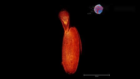 种子青杨-细胞壁