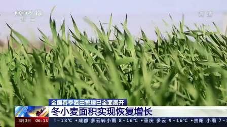 全国春季麦田管理已全面展开:冬小麦面积实现恢复增长