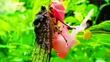 古诗词。虞世南:《蝉》。居高声自远,非是藉秋风……朗诵:邢之诺
