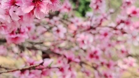 桃花盛开时节