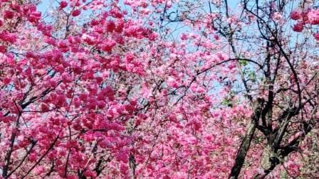 昆明圆通山樱花季