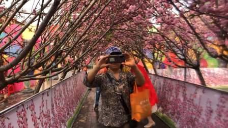 魅丽珠海——圆明新园里的樱花盛开了