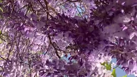 紫藤花紫兰花