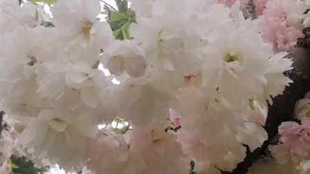 2021玉渊潭公园樱花节