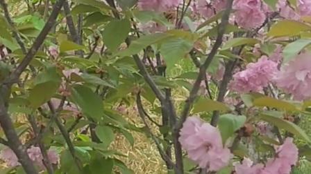 微风中的樱花
