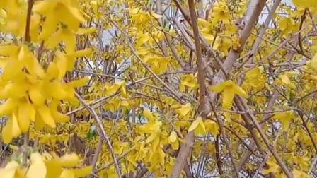 塞北植物:连翘