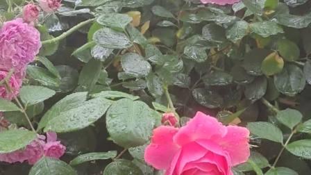 雨后赏花……