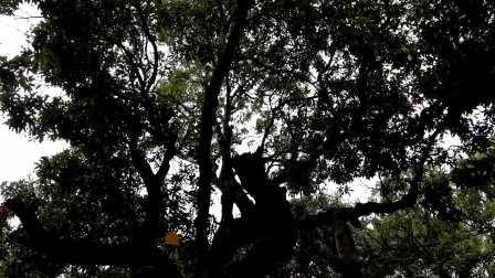 五一短途自驾游——贡园。高州市根子镇,有一个果园叫贡园,园里生长的荔枝树有很多树龄都已超过500年,棵棵枝繁叶茂,每年还挂果。