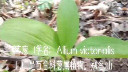 塞北植物:茖葱