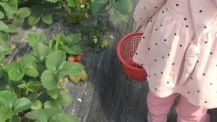 萌宝摘草莓吃吃吃吃货吃播草莓园一日游