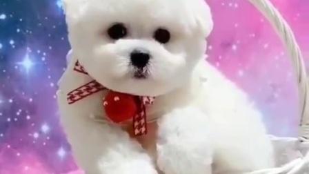 纯种小体比熊幼犬多少钱一只