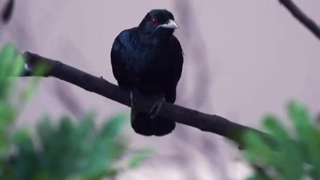只闻其声,不见其影的鸟叫