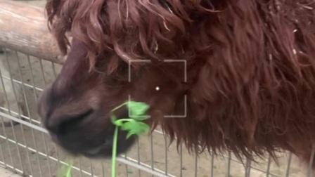 看羊驼吃草。。