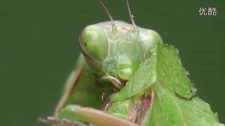 薄翅螳螂捕食全过程