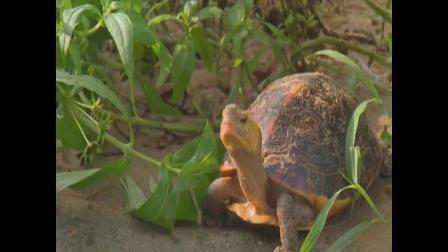 黄缘闭合龟