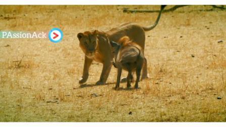 PAssionAck#野猪捍卫击败狮子,能留下的都是狠角色-PAssionAck