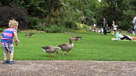 鸭子去逛街,无论横过的马路,或是在返家的路上,牠们都很有纪律,保持良好的队形。