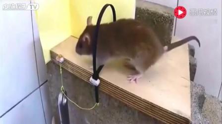 超级抓鼠神器