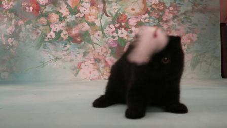 纯黑色异国短毛猫 女孩[紫英猫舍]