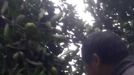 卖橘子,自家种的无农药,不浇粪的橘子,绝对是绿色天然食品,如果不是绿色天然食品假一赔十!
