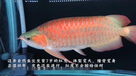 周鱼说鱼 第七期 龙鱼的血统与养法1节选 不同养法的后期表现