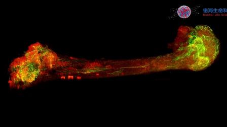 小鼠股骨双色成像 锘海LS 18 光片显微镜