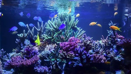 Bring the Reef Home - SPS dominated tank coral tour