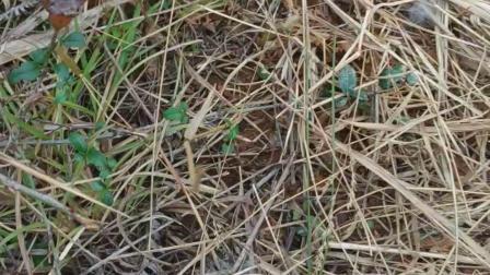 上山找野鸡野兔路发现兔子被别人夹走了,夹坑边全是毛VID_20190129_151612
